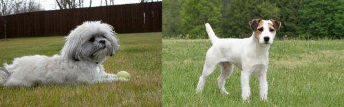 Mal-Shi vs Jack Russell Terrier