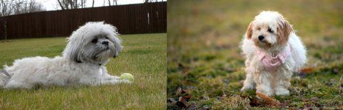 Mal-Shi vs West Highland White Terrier