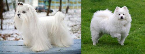 Maltese vs American Eskimo Dog