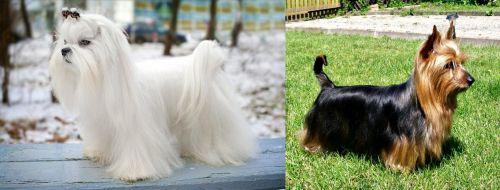 Maltese vs Australian Silky Terrier
