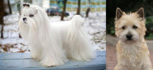 Maltese vs Cairn Terrier