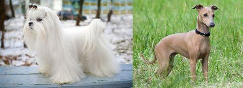 Maltese vs Italian Greyhound
