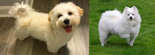 Maltipoo vs American Eskimo Dog