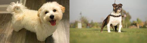 Maltipoo vs Bantam Bulldog
