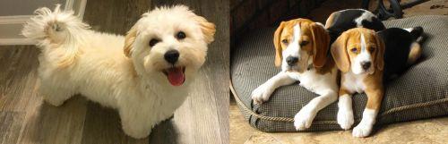 Maltipoo vs Beagle