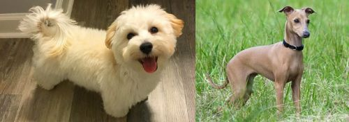 Maltipoo vs Italian Greyhound