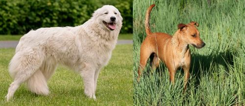Maremma Sheepdog vs Africanis