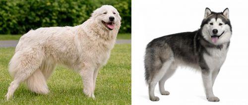 Maremma Sheepdog vs Alaskan Malamute
