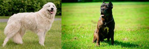 Maremma Sheepdog vs Bandog