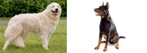 Maremma Sheepdog vs Beauceron