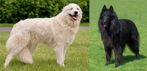 Maremma Sheepdog vs Belgian Shepherd Dog (Groenendael)