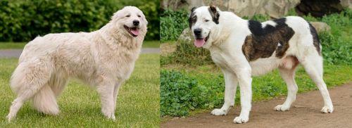 Maremma Sheepdog vs Central Asian Shepherd