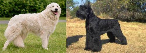 Maremma Sheepdog vs Giant Schnauzer