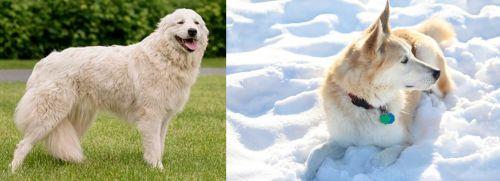Maremma Sheepdog vs Labrador Husky