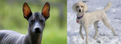 Mexican Hairless vs Poodle