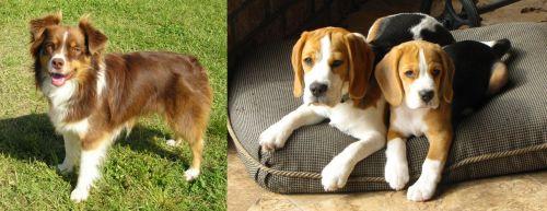 Miniature Australian Shepherd vs Beagle