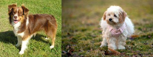 Miniature Australian Shepherd vs West Highland White Terrier