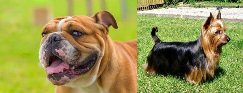 Miniature English Bulldog vs Australian Silky Terrier