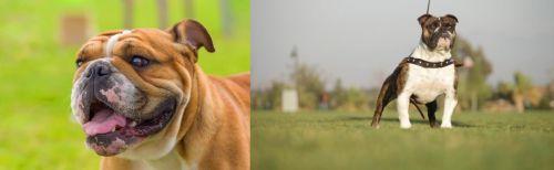 Miniature English Bulldog vs Bantam Bulldog