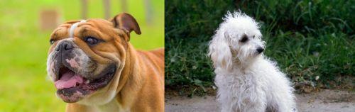 Miniature English Bulldog vs Bolognese