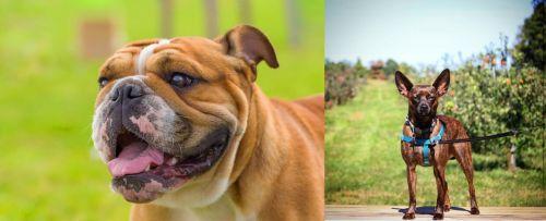 Miniature English Bulldog vs Bospin