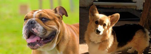 Miniature English Bulldog vs Dorgi