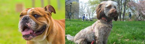 Miniature English Bulldog vs Doxiepoo