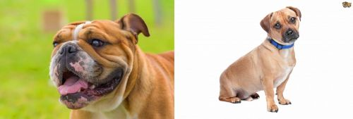 Miniature English Bulldog vs Jug