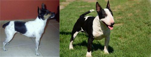 Miniature Fox Terrier vs Bull Terrier Miniature