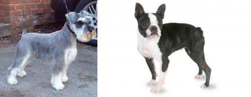 Miniature Schnauzer vs Boston Terrier