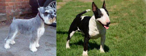 Miniature Schnauzer vs Bull Terrier Miniature