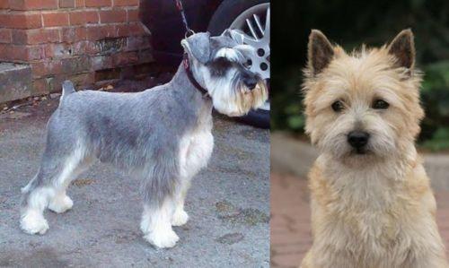 Miniature Schnauzer vs Cairn Terrier