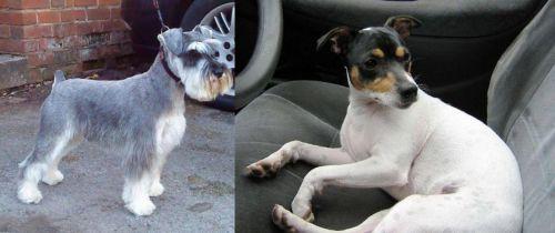 Miniature Schnauzer vs Chilean Fox Terrier