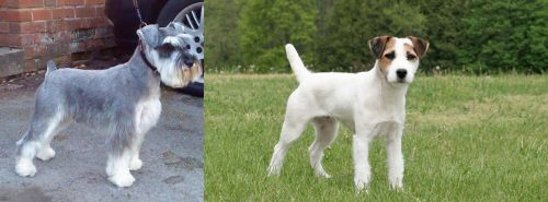 Miniature Schnauzer vs Jack Russell Terrier