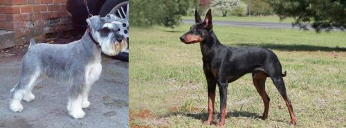 Miniature Schnauzer vs Manchester Terrier