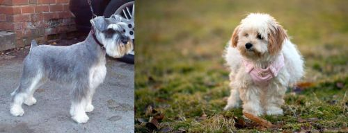 Miniature Schnauzer vs West Highland White Terrier
