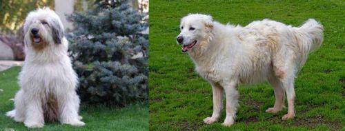 Mioritic Sheepdog vs Abruzzenhund