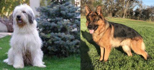Mioritic Sheepdog vs German Shepherd
