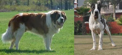 Moscow Watchdog vs Alangu Mastiff