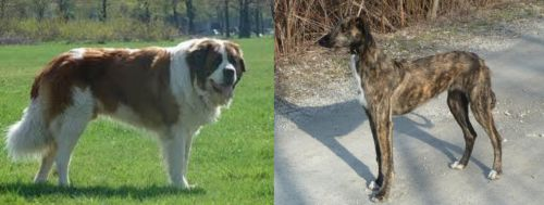 Moscow Watchdog vs American Staghound