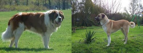 Moscow Watchdog vs Anatolian Shepherd