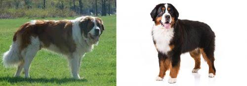 Moscow Watchdog vs Bernese Mountain Dog