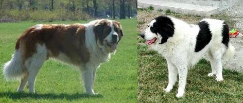 Moscow Watchdog vs Ciobanesc de Bucovina