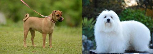 Muggin vs Coton De Tulear