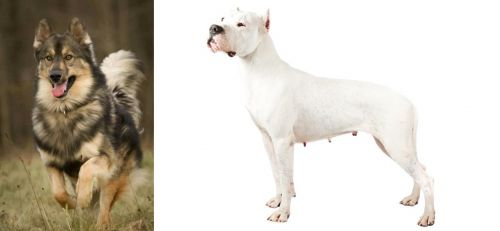 Native American Indian Dog vs Argentine Dogo