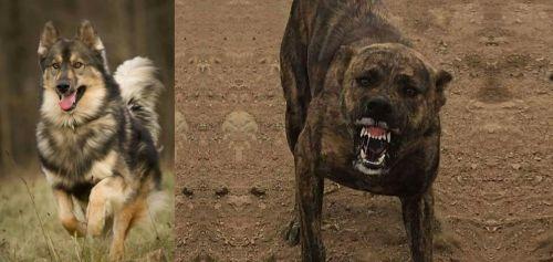 Native American Indian Dog vs Dogo Sardesco