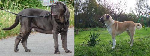 Neapolitan Mastiff vs Anatolian Shepherd