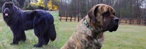 Newfoundland Dog vs American Mastiff
