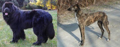 Newfoundland Dog vs American Staghound