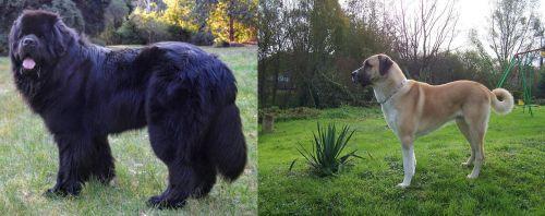 Newfoundland Dog vs Anatolian Shepherd